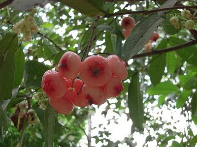 Chambakka Pickle Recipe, Kerala Water Rose Apple Pickle