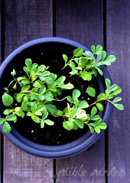 fresh methi leaves for methi paneer